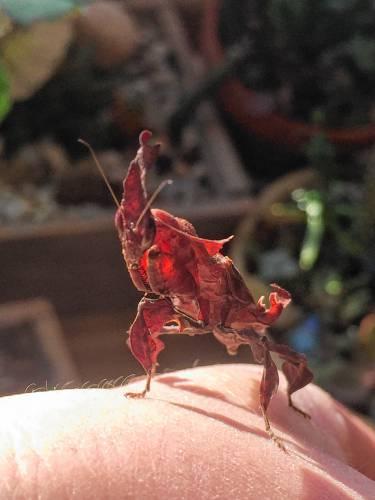 exotic praying mantis wings